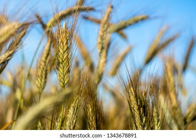 The cereal grows in the field. Mature ears of grain. Blue sky background