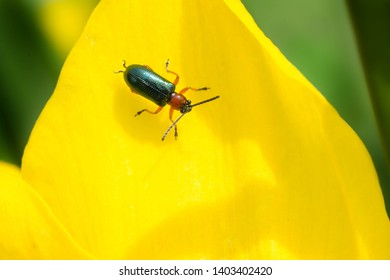 Cereal Leaf Beetle perched on a yellow daffodil petal. It is an invasive species from Europe and Asia and is considered a crop pest. Rosetta McClain Gardens, Toronto, Ontario, Canada.