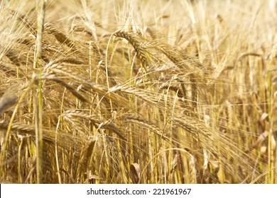 Cereal Plants, Barley, with different focus. Barley grain is used for flour, barley bread, barley beer, some whiskeys, some vodkas, and animal fodder.