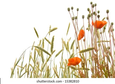 Cereal plants and poppy flowers isolated on white