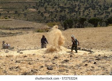 Cereals harvest in Ethiopia, 09 November 2012