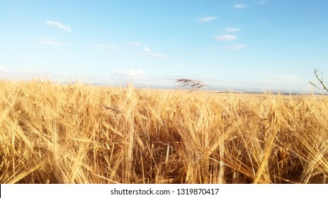 Cereals to the horizon. Summer agricultural landscape of the community of Castile and Leon, Spain. Contrast yellow and blue natural colors of the calm sky. Rural.