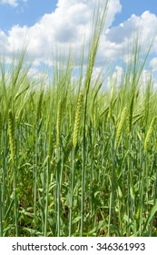 Cereals (wheat, rye), growing in a field. View through the ears up at the summer sky with clouds