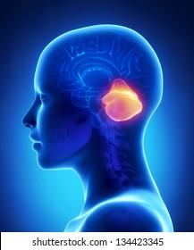 Cerebellum - female brain anatomy lateral view