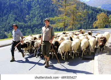 Ceremonial driving down of sheep, Jerzens, Tyrol, Austria, Europe,  10 September 2011