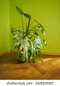 ceriman (Monstera deliciosa) aka fruit salad plant
