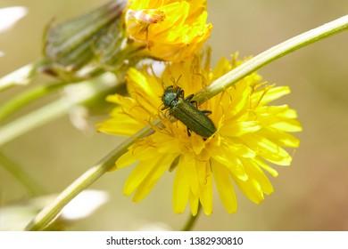Cerocoma schaefferi. Coleoptera, Polyphaga, Cucujiformia. Green Beetle.