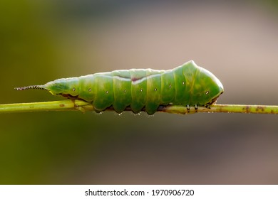 Cerura Vinula or Puss Moth Caterpillar on Green Background Macro