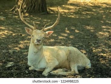 Cervidae Animalia  Artiodactyla Ruminantia Elaphurus davidianus