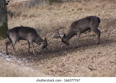 Cervus dama, Fallow deer, fighting, Germany