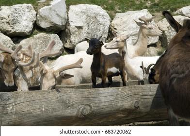 Cervus elaphus, deer, sicahirsch, goats,