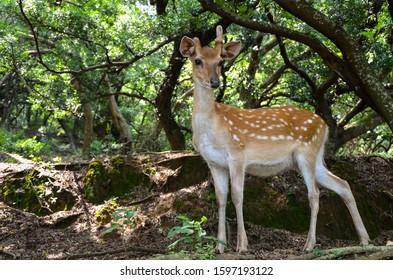 Cervus nippon taiouanus or Formosan sika deer