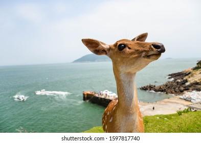 Cervus nippon taiouanus or Formosan sika deer in Matsu, Taiwan.