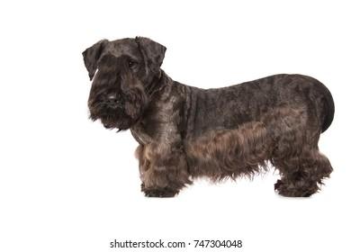 Cesky Terrier black dog isolated over white background