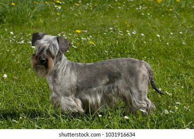 Cesky terrier standing in a flower meadow