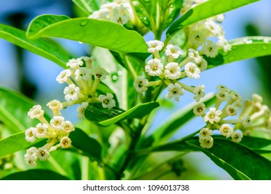 Cestrum diurnum (King of the day, Day Cestrum, Day-blooming Jessamine, Din ka Raja) ; white flowers, bunches into bouquet at the end branches. Daytime aromatherapy, All night long. Natural sunlight.