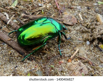 Cetonia aurata, called the rose chafer or the green rose chafer. Bluish green and gold color European beetle closeup on rough brown sandy soil with shiny gold reflections.