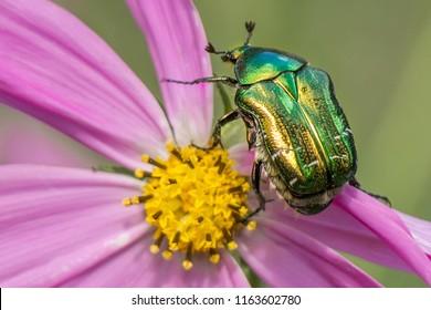 Cetonia aurata golden beetle on flower
