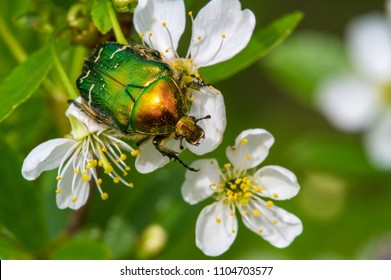 Cetonia aurataCetonia-aurata.jpg  cherry flowers. Cetonia aurata, called the rose chafer or the green rose chafer, is a beetle, 20 mm  long, that has a metallic structurally coloured green and a disti