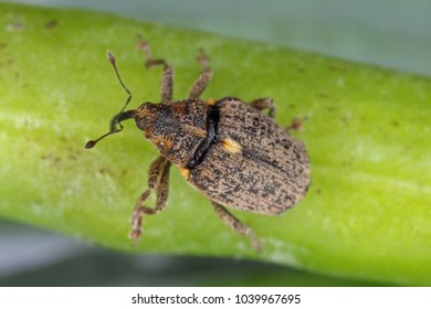 Ceutorhynchus pallidactylus (formerly quadridens) Cabbage Stem Weevil is beetle from family Curculionidae. This is pest of oilseed rape (canola) plants.