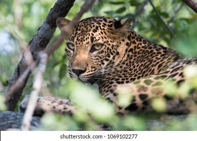 Ceylon leopard (Panthera pardus kotiya)