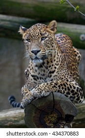 Ceylon leopard (Panthera pardus kotiya) is a magnificent animal from which it comes genuine respect