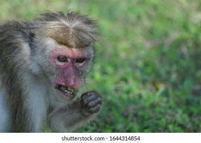 Ceylon nose monkey eating dinner