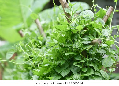 Ceylon Spinach green leaf plant growing on vine in the plantation vegetable garden / Basella alba - Malabar Nightshade