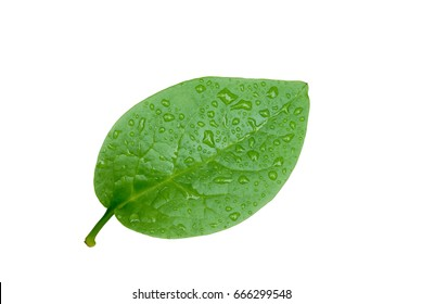 Ceylon spinach leaf with water drops isolated on white background. (East Indian spinach, Indian spinach, Malabar nightshade, Vine spinach)