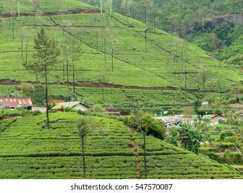 ceylon tea mountain plantation at Sri Lanka island