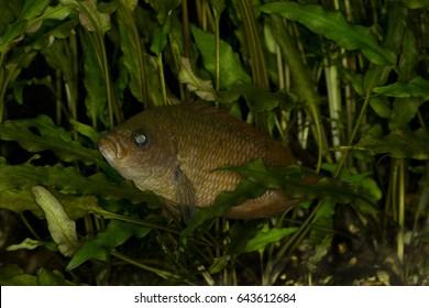 Ceylonese combtail (Belontia signata).