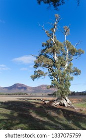 Cezneuax tree Wilpena pound