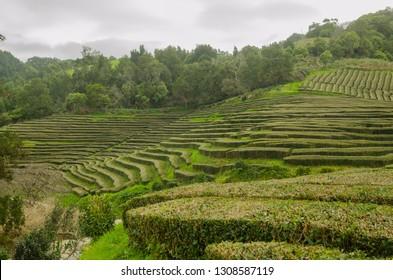 Cha Gorreana, Azores, Sao Miguel. Tea plantation.