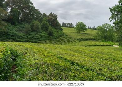 Cha Gorreana tea plantation in Sao Miguel, Azores, Portugal