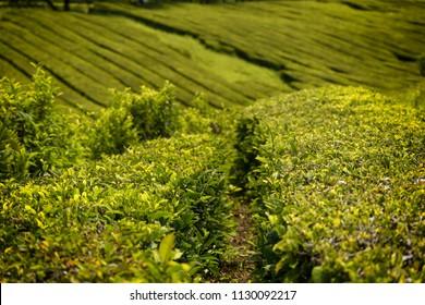 Cha Gorreana, traditional tea plantation, Sao Miguel, Acores