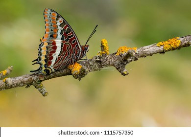 Chaasxes jasius, the two-tailed pasha or foxy emperor, is a butterfly of the Nymphalidae family. Placed on a plant branch.