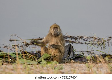A Chacma Baboon foraging by a river in the Namibian savanna