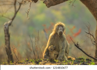 Chacma Baboon mum with baby, species Papio ursinus, sitting on the tree in nature forest. Cape baby baboon hugs mom. Game drive safari in Hluhluwe-iMfolozi Reserve, South Africa. Copy space.