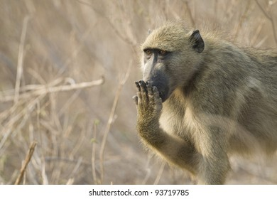 Chacma Baboon (Papio ursinus) covering mouth with hand. Chobe National Park, Botswana.