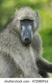 Chacma Baboon, Papio ursinus, Kruger National Park, South Africa