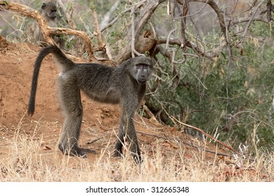 Chacma baboon, Papio ursinus, single mammal on ground, South Africa, August 2015