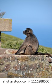 Chacma baboon sits on a rock wall near Cape Point, South Africa