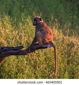 Chacma baboon sitting on tree branch at sunset