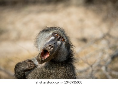 Chacma baboon yawning in the Kruger National Park, South Africa.