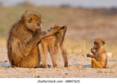 Chacma Baboons, Chobe National Park, Botswana