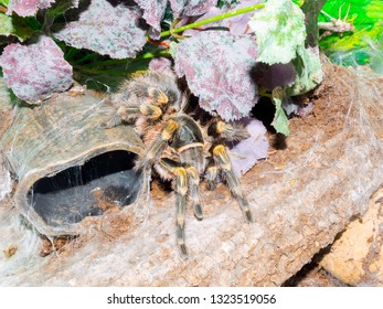 Chaco golden knee spider