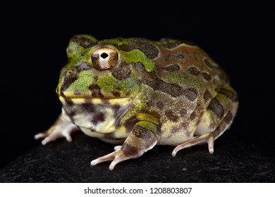 Chaco horned frog (Chacophrys pierottii)