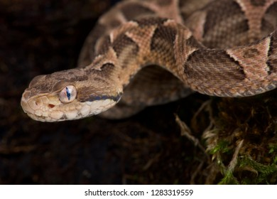Chaco lance head (Bothropoides diporus)