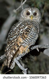 Chaco Owl, Strix chacoensis, in the natural habitat of the chaco forest of Argentina at night