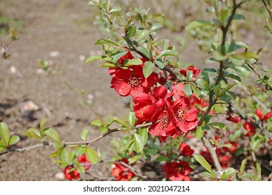 Chaenomeles is a genus of three species of deciduous spiny shrubs, usually 1–3 m tall, in the family Rosaceae. They are native to Southeast Asia. These plants are related to the quince